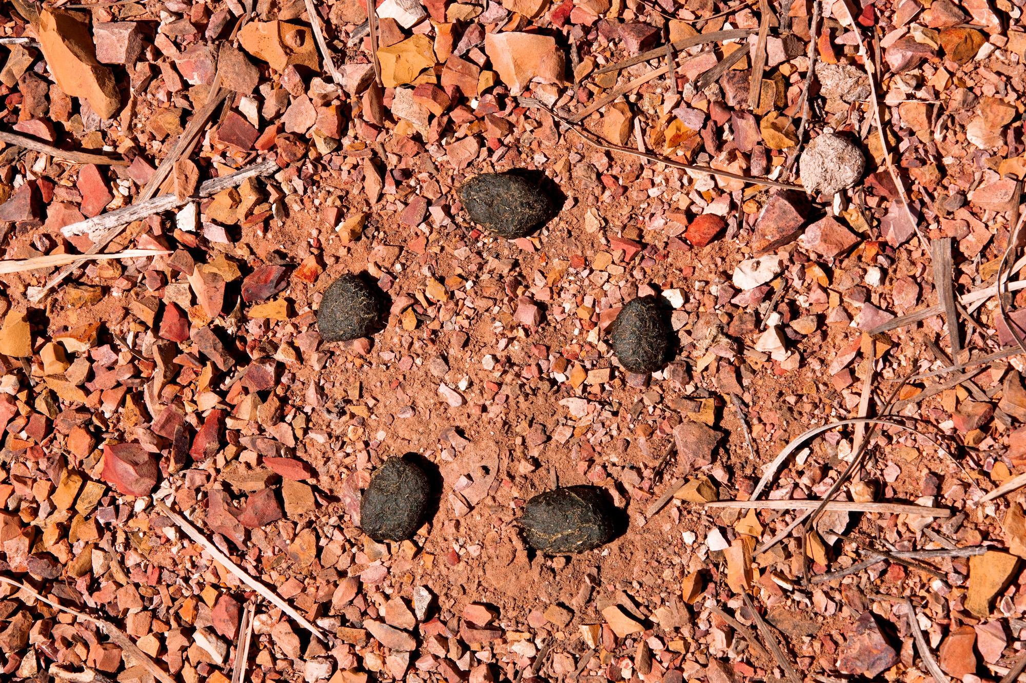 Kangaroo Droppings, Winton, Queensland, Australia, 2013